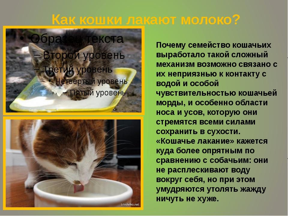 Как кошки лакают молоко? Почему семейство кошачьих выработало такой сложный...