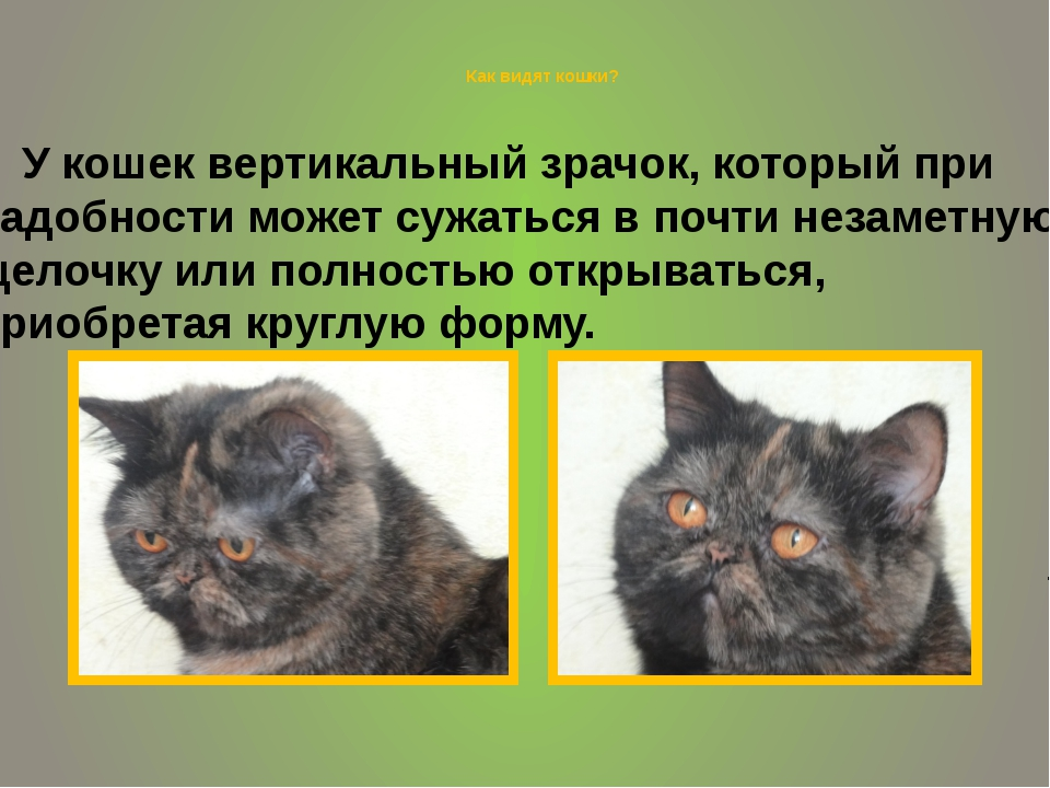 Как видят кошки? У кошек вертикальный зрачок, который при надобности может с...