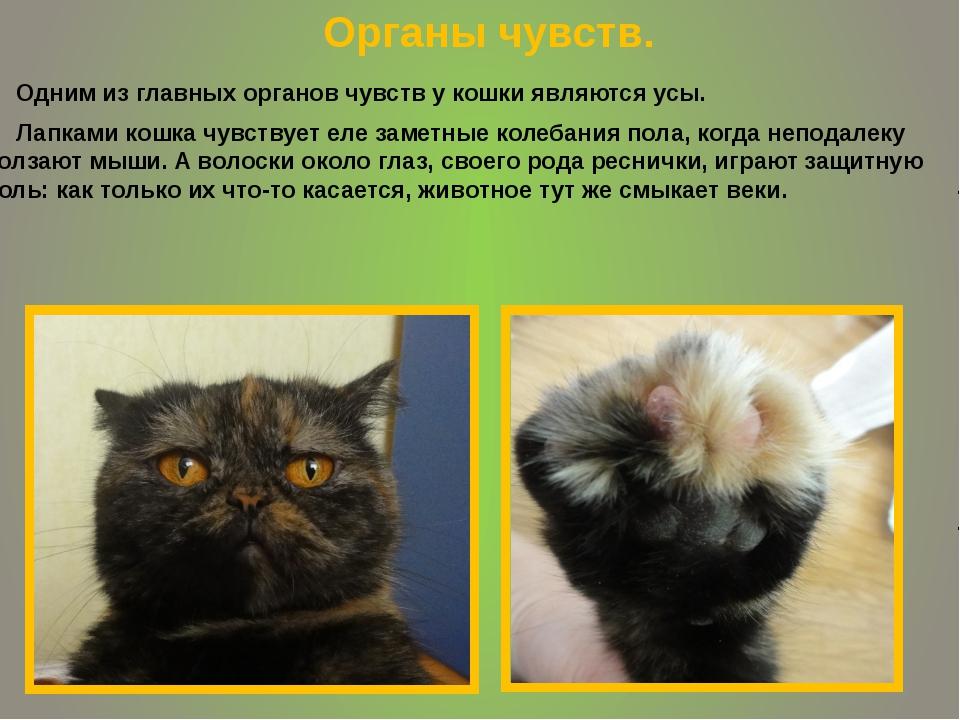 Одним из главных органов чувств у кошки являются усы. Лапками кошка чувствуе...