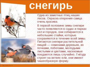 снегирь Одна из заметных птиц наших лесов. Окраска оперения самца очень краси
