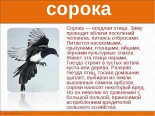 сорока Сорока — оседлая птица. Зиму проводит вблизи поселений человека, питая
