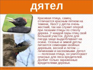 дятел Красивая птица, самец отличается красным пятном на темени. Хвост у дятл