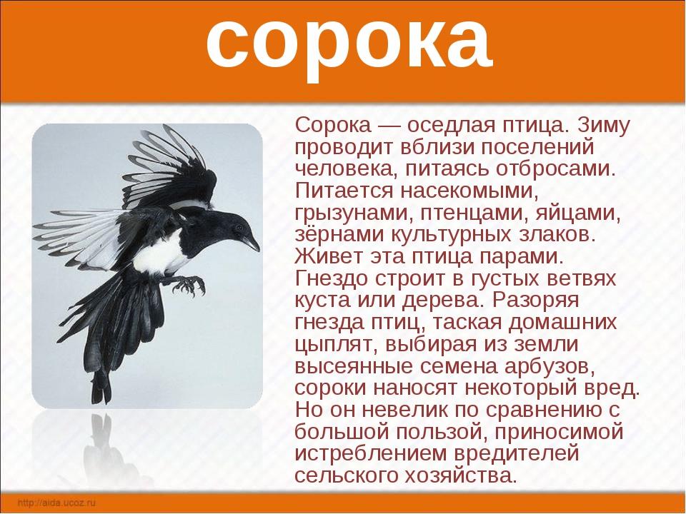 сорока Сорока — оседлая птица. Зиму проводит вблизи поселений человека, питая...