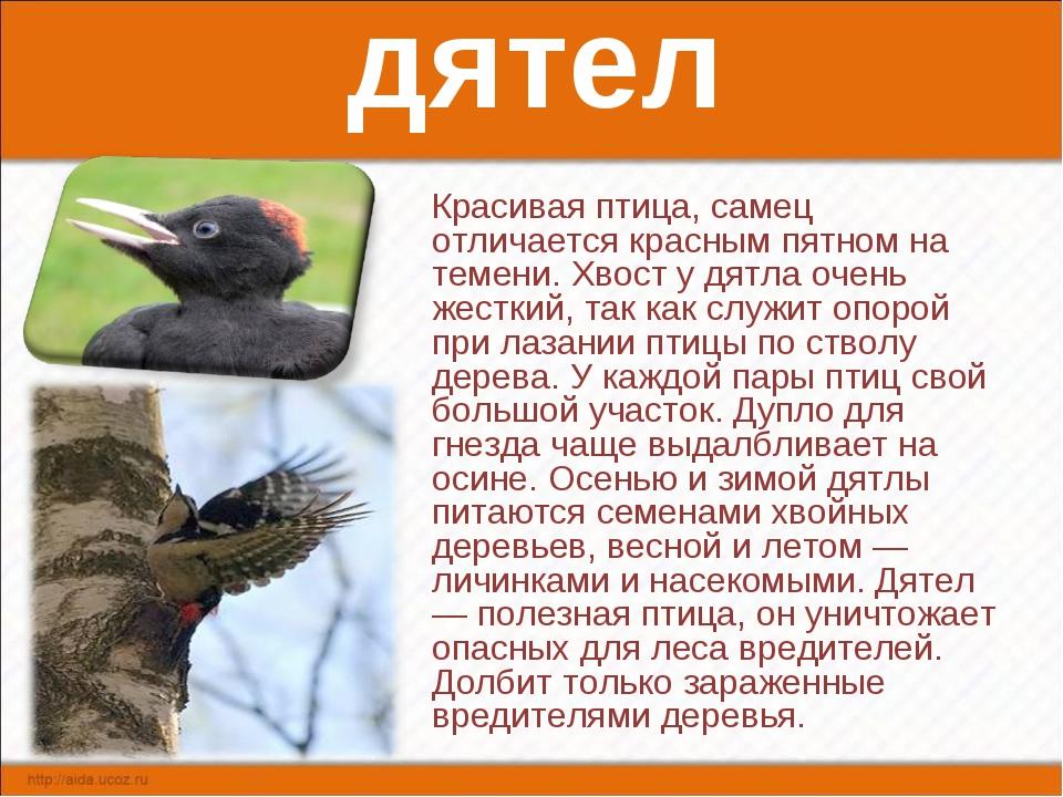 дятел Красивая птица, самец отличается красным пятном на темени. Хвост у дятл...