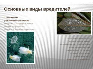 Основные виды вредителей Белокрылка (Trialeurodes vaporariorum) Белокрылки —