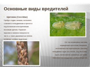 Основные виды вредителей Щитовка (Coccidae) Пройдя стадию личинки, насекомое