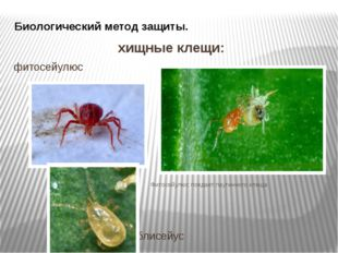 Биологический метод защиты. хищные клещи: фитосейулюс Фитосейулюс поедает пау