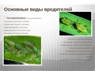 Основные виды вредителей Тля (Aphidoidea) Тля часто появляется на комнатных р