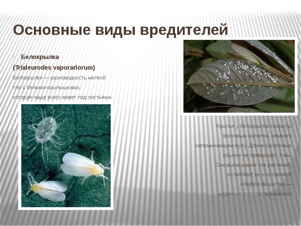 Основные виды вредителей Белокрылка (Trialeurodes vaporariorum) Белокрылки —...
