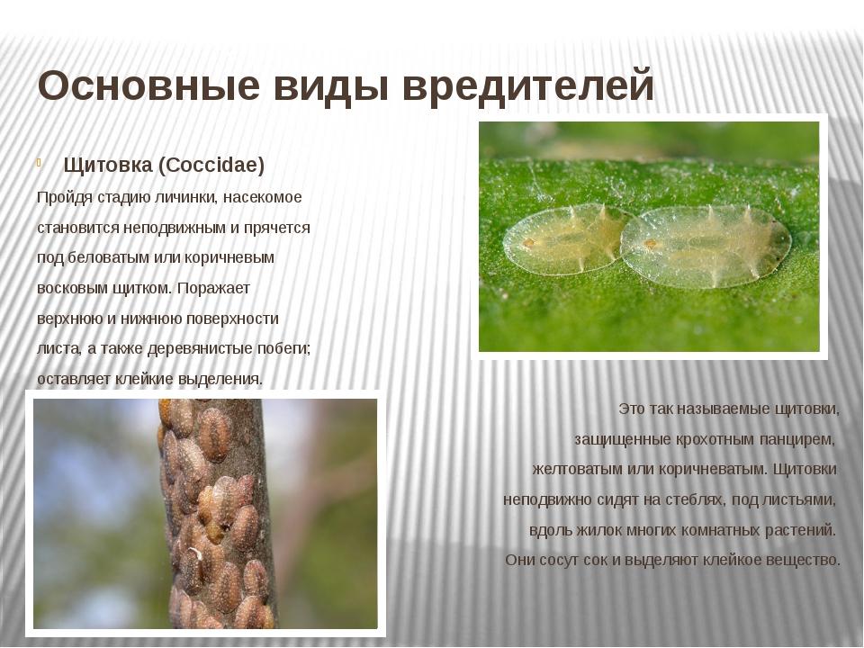 Основные виды вредителей Щитовка (Coccidae) Пройдя стадию личинки, насекомое...