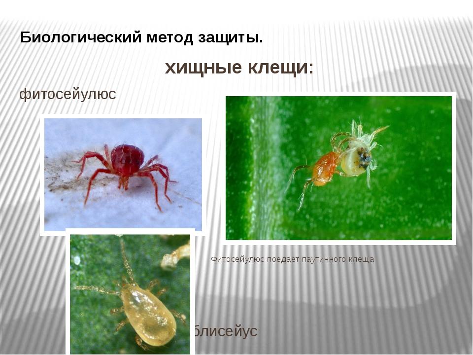 Биологический метод защиты. хищные клещи: фитосейулюс Фитосейулюс поедает пау...