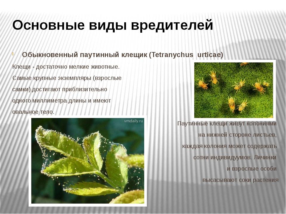 Основные виды вредителей Обыкновенный паутинный клещик (Tetranychus urticae)...