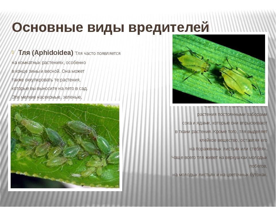 Основные виды вредителей Тля (Aphidoidea) Тля часто появляется на комнатных р...