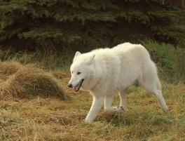 C:\Users\User\Desktop\Wolfs-010-DogHusky.ru_.jpg