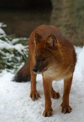 C:\Users\User\Desktop\красный волк.jpg