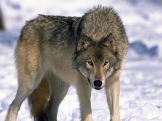 C:\Users\User\Desktop\Wolfs-016-DogHusky.jpg