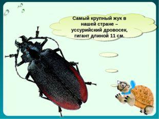 Самый крупный жук в нашей стране – уссурийский дровосек, гигант длиной 11 см.