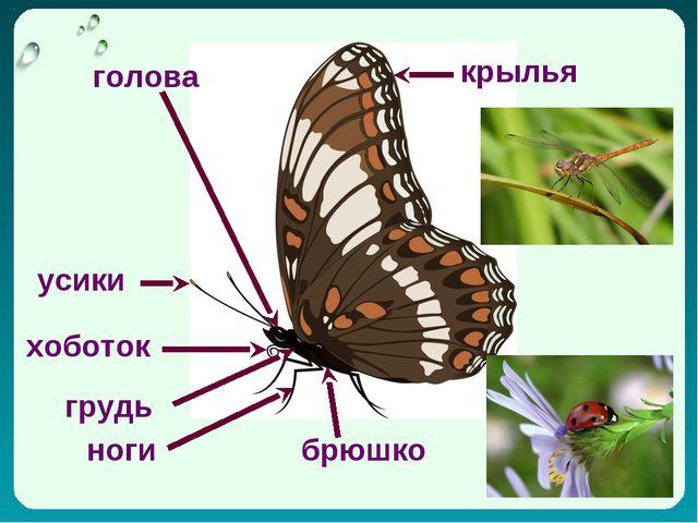 усики крылья голова хоботок грудь брюшко ноги