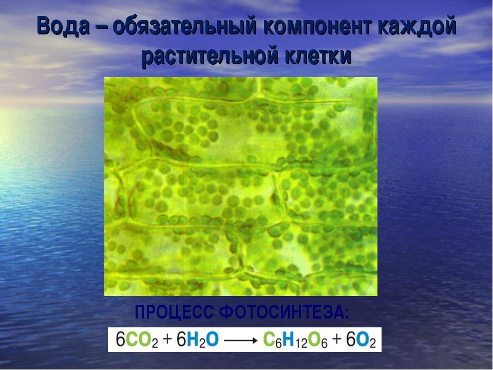Вода – обязательный компонент каждой растительной клетки ПРОЦЕСС ФОТОСИНТЕЗА:
