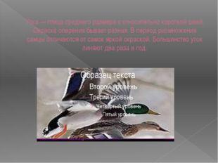 Утка — птица среднего размера с относительно короткой шеей. Окраска оперения