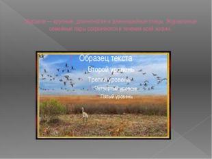 Журавли — крупные, длинноногие и длинношейные птицы. Журавлиные семейные пары