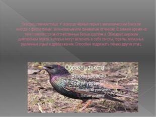Скворец певчая птица. У скворца чёрные перья с металлическим блеском иногда с