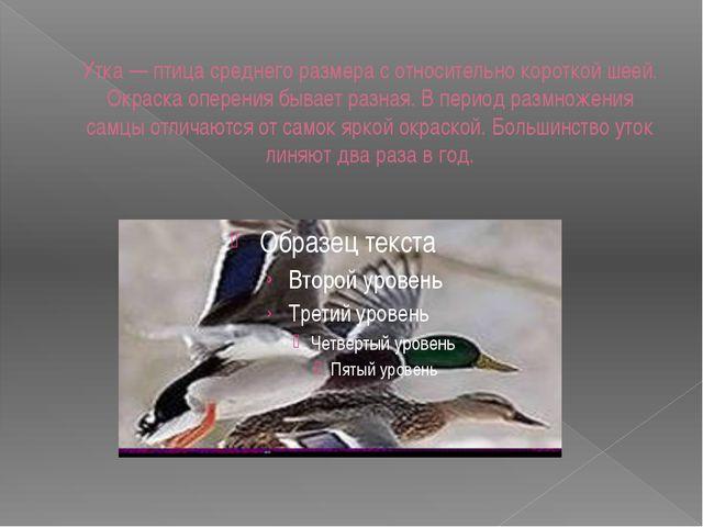 Утка — птица среднего размера с относительно короткой шеей. Окраска оперения...