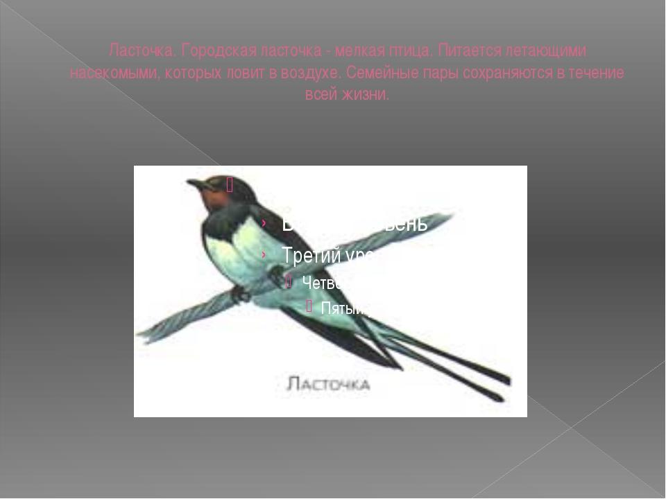 Ласточка. Городская ласточка - мелкая птица. Питается летающими насекомыми, к...