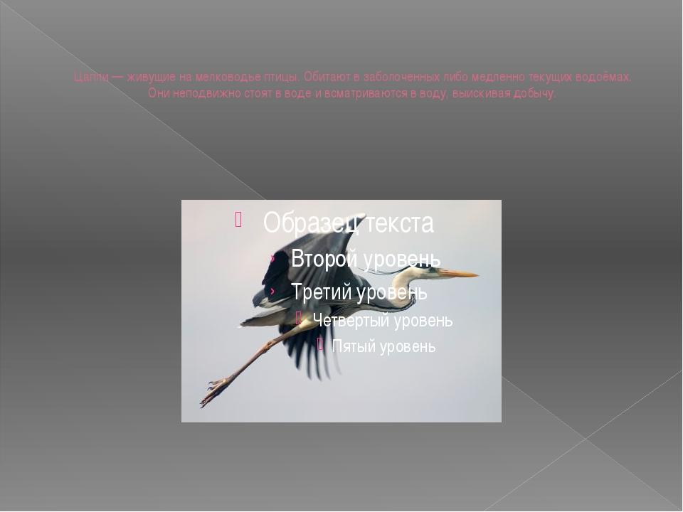 Цапли — живущие на мелководье птицы. Обитают в заболоченных либо медленно тек...