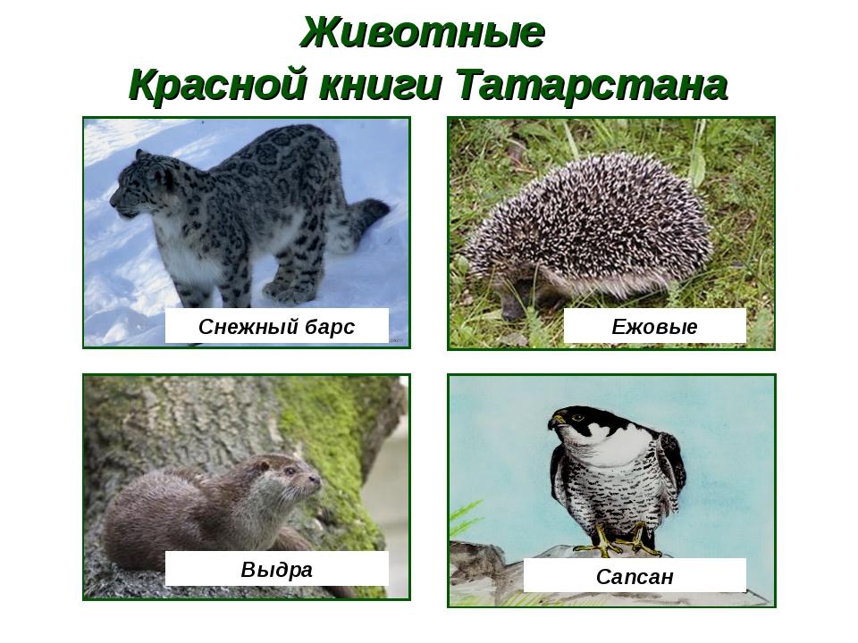 Животные Красной книги Татарстана Снежный барс Ежовые Выдра Сапсан