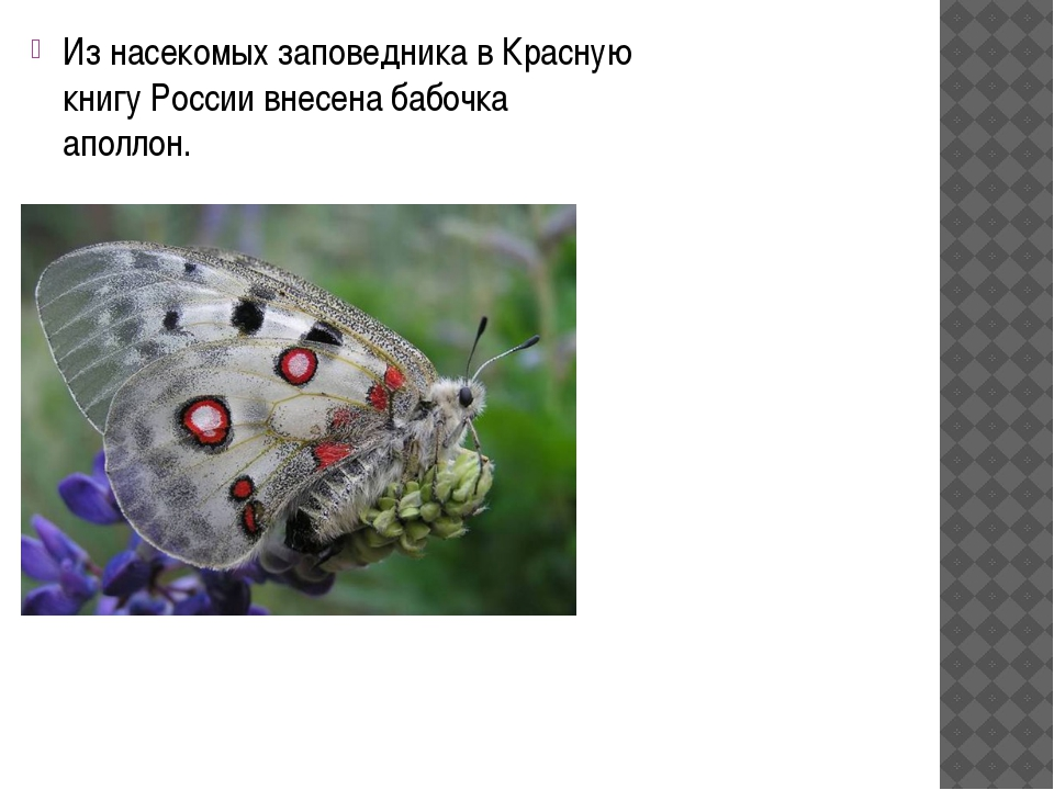 Из насекомых заповедника в Красную книгу России внесена бабочка аполлон.