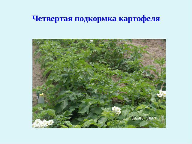 Четвертая подкормка картофеля