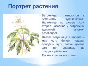 Портрет растения Ветреница относится к семейству кувшинковых. Напоминая по фо