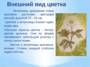 Внешний вид цветка Ветреница дубравная очень красивое растение, цветущее весн