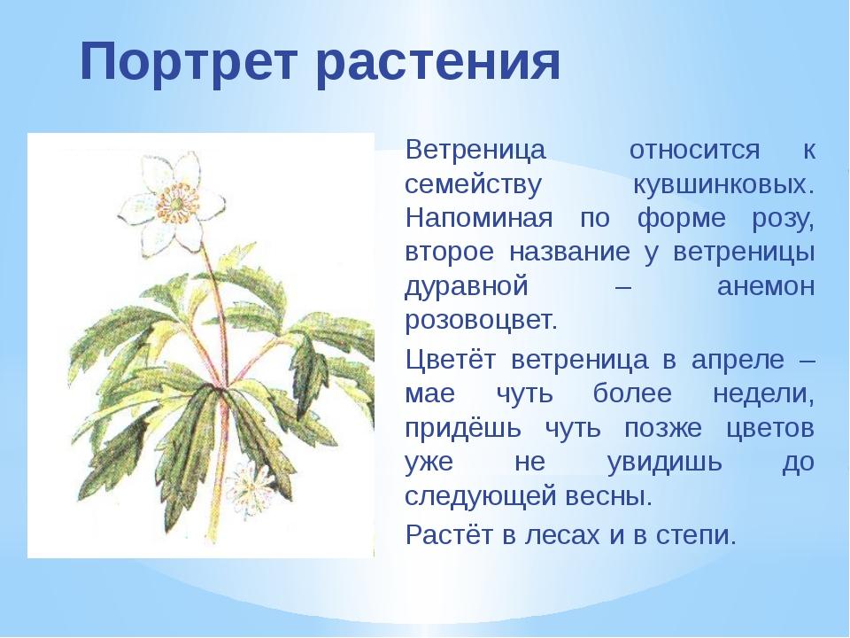 Портрет растения Ветреница относится к семейству кувшинковых. Напоминая по фо...
