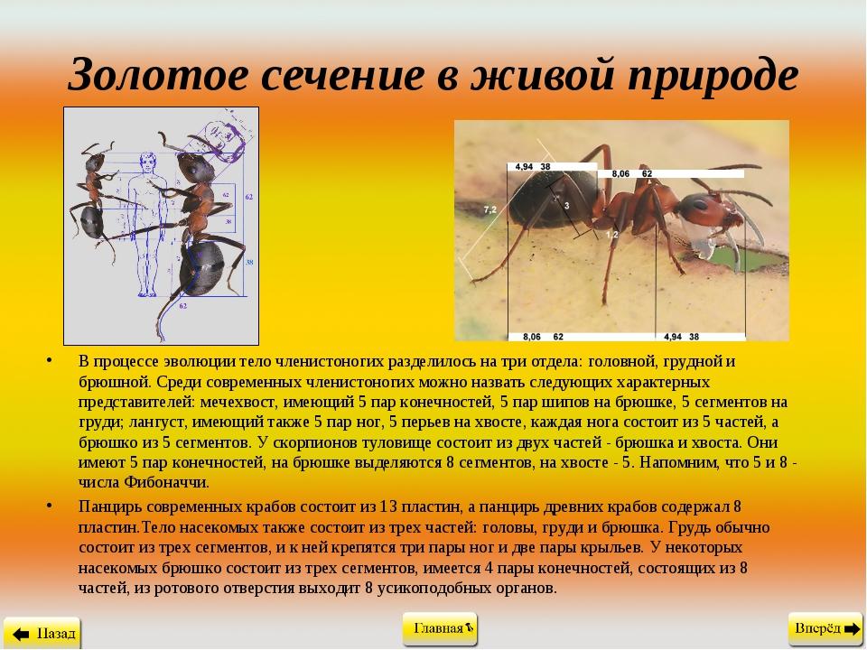 Золотое сечение в живой природе В процессе эволюции тело членистоногих раздел...