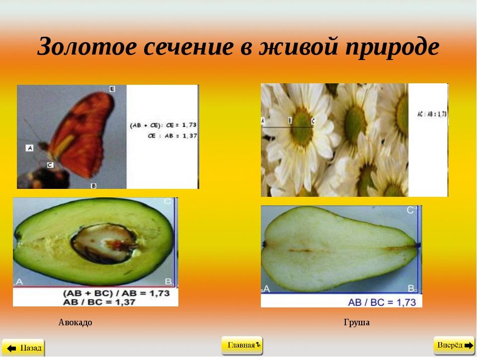 Золотое сечение в живой природе Авокадо Груша