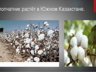 Хлопчатник растёт в Южном Казахстане.