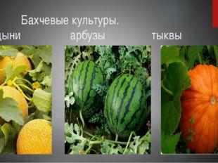 Бахчевые культуры. дыни арбузы тыквы