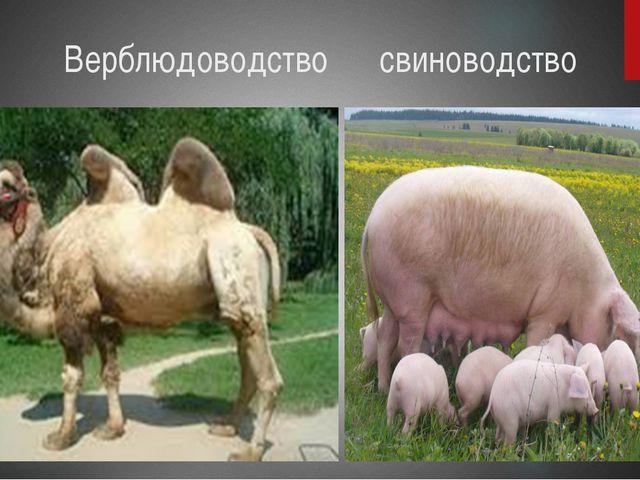 Верблюдоводство свиноводство