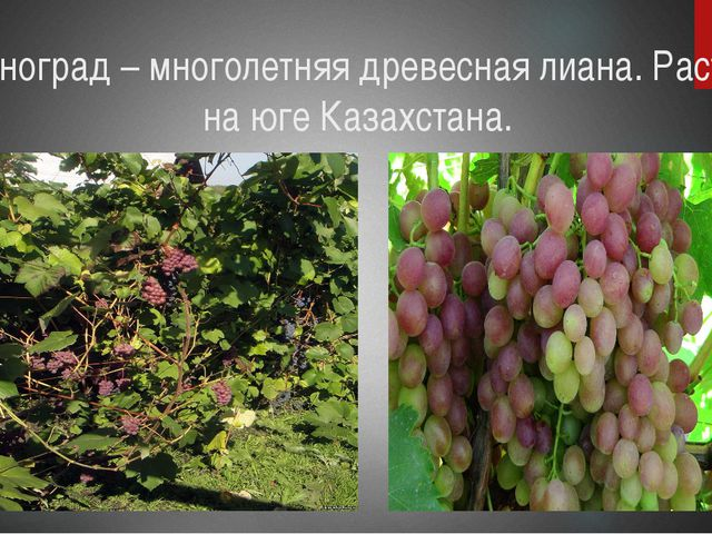 Виноград – многолетняя древесная лиана. Растёт на юге Казахстана.