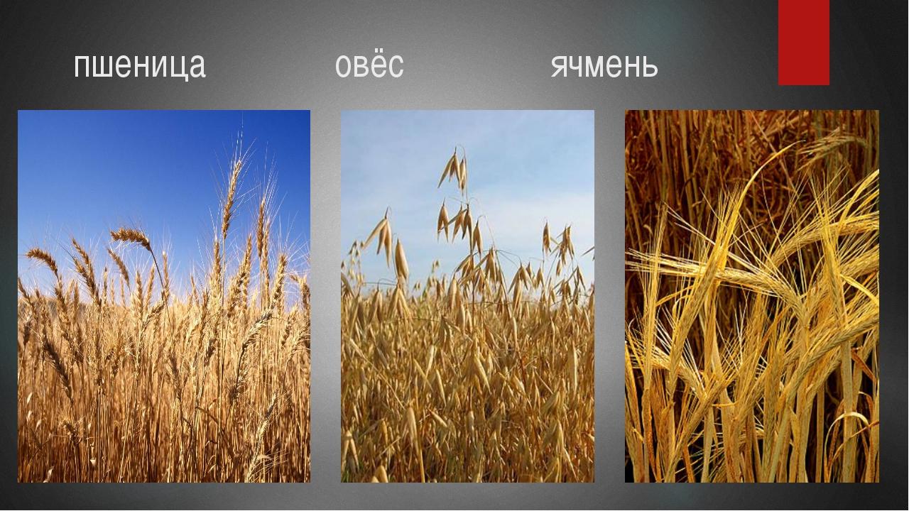 пшеница овёс ячмень