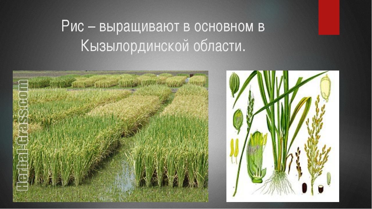 Рис – выращивают в основном в Кызылординской области.