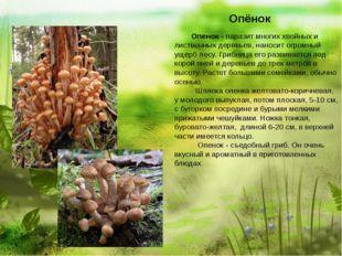Опёнок  Опенок - паразит многих хвойных и лиственных деревьев, нано