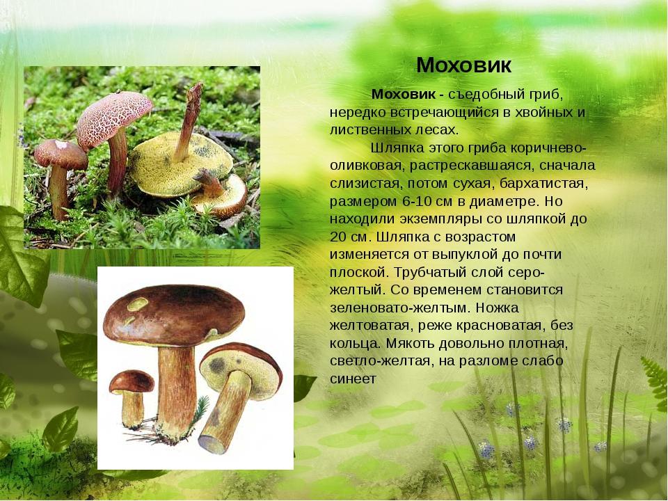 Моховик  Моховик - съедобный гриб, нередко встречающийся в хвойных...