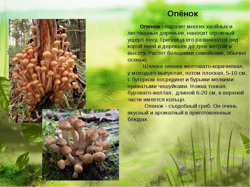 Опёнок  Опенок - паразит многих хвойных и лиственных деревьев, нано...