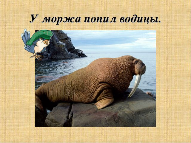 У моржа попил водицы.