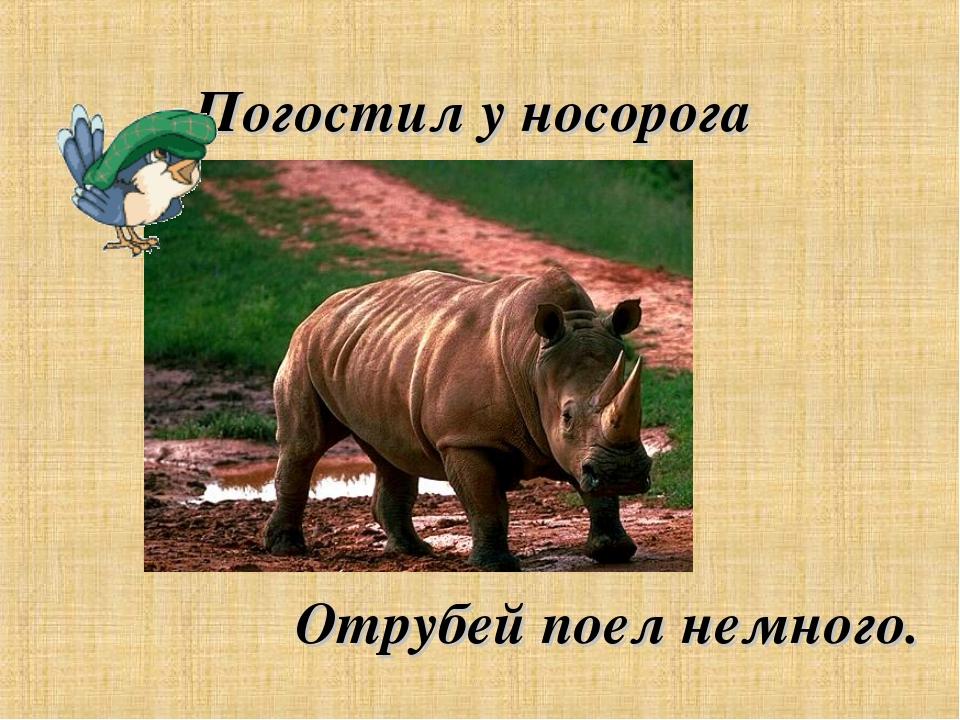 Погостил у носорога Отрубей поел немного.
