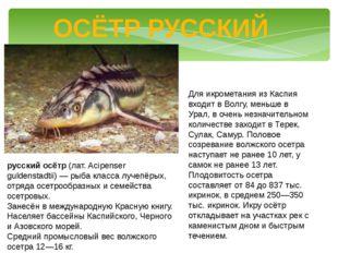 ОСЁТР РУССКИЙ русский осётр (лат. Acipenser guldenstadtii) — рыба класса луче
