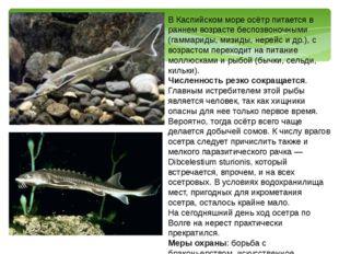 В Каспийском море осётр питается в раннем возрасте беспозвоночными (гаммариды
